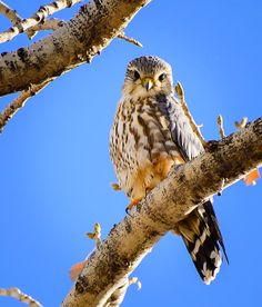 A very infrequent visitor to northern Nevada, this Merlin was photographed along the Truckee River in Sparks.