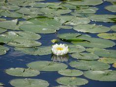 Pond Lillie.