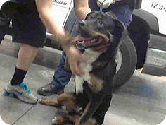Mesa, AZ - Rottweiler Mix. Meet A3582377, a dog for adoption. http://www.adoptapet.com/pet/12582275-mesa-arizona-rottweiler-mix