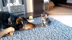 Dog Tussles Cat In Maximally Cute GIF