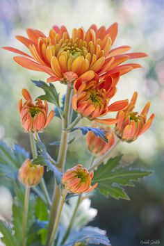 Beautiful soft image of autumn orange mums with a light bokeh background. Desert Flowers, All Flowers, Flowers Nature, Orange Flowers, Amazing Flowers, Beautiful Flowers, Primroses, Zinnias, Chrysanthemums
