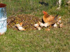 mamà gallina y sus pollitos <3 http://enunbosque.blogspot.com/