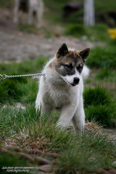 This young sledge dog was full of energy. Doggies, Dogs And Puppies, Canadian Eskimo, Greenland Dog, Spitz Dogs, American Akita, Japanese Spitz, Wolf Pup, Snow Dogs