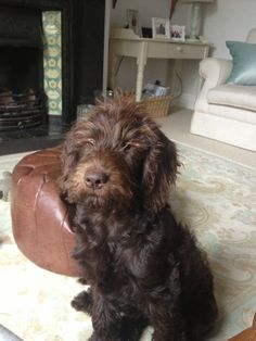 Rupert the miniature Labradoodle