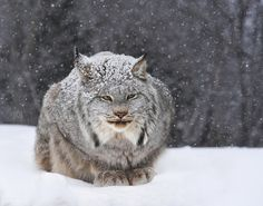 Magnificent Canadian lynx.