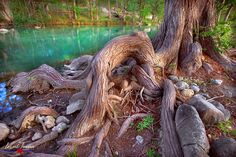 Cypress roots on the Blanco River in Wimberley, TX Photographic Prints: Photographic prints are available in three finishes – matte, glossy and metallic. Matte prints look great in all types of lig… Cypress Trees, Tree Roots, Texas Hill Country, White Horses, Types Of Lighting, Natural World, Photographic Prints, National Parks, Explore