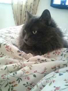 <3 my love * Nebelung cat *