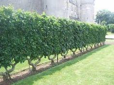 Image result for espalier fruit tree