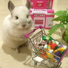 """Bubu The Chinchilla Will Inspire You To Live A Better Life """"DO NOT skip on the groceries. Super Cute Animals, Cute Funny Animals, Cute Creatures, Beautiful Creatures, Animals And Pets, Baby Animals, Chinchilla Cute, Pet Mice, All Things Cute"""