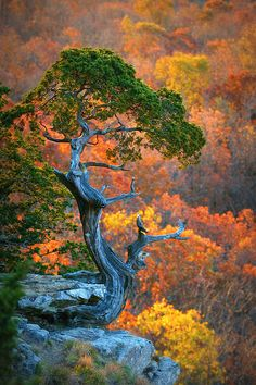 Living Art in Fall ... photo of tree near the Mt. Magazine Lodge - in Mount Magazine State Park, Arkansas