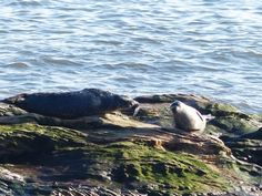 Seals sunning themselves on the rocks at Seafield, viewed from the Fife Coastal Path #fife