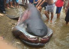 A HUGE megamouth shark washed up on the shores of Marigondon! | From best-facts