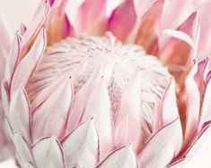 Title: King Protea A beautiful, soft, King Protea photograph with pale pink tones. Flor Protea, Protea Art, Protea Flower, Exotic Flowers, Beautiful Flowers, Nursery Wall Art, Nursery Decor, Bedroom Decor, King Protea