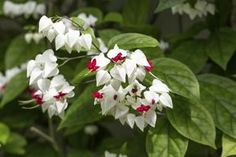 16.-El clerodendrum es un género de plantas que incluye especies típicas de áreas tropicales de África y Asia. Crece muy bien en lugares cálidos y también en interior.