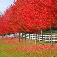 Autumn Blaze® Red Maple Hardy, Fast-Growing Maple with Lasting Fall Color Autumn Blaze (Acer fremanii) is prized as the fastest growing Maple tree with a hardy nature and brilliant color. Red Oak Tree, Red Maple Tree, Trees And Shrubs, Trees To Plant, Deciduous Trees, Autumn Blaze Maple, Fast Growing Trees, Shade Trees, Colorful Trees
