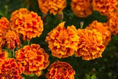 french-marigolds