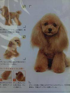 poodle clip Poodle Grooming, Dog Grooming, Pekingese, Yorkie, Poodle Cuts, Dog Haircuts, Fancy Pants, Kittens Cutest, Puppy Love