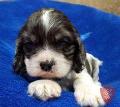 Cocker Spaniel puppy - Kingston 468926