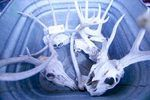 How to Clean Deer Skulls | eHow