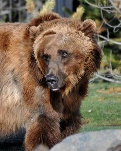 Yellowstone Grizzly Bears | Grizzly Wolf Discovery Center