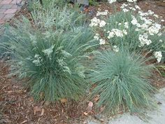 Description This ground cover/grass will grow less than tall and has small, blue green leaves. Plants, Front Yard Landscaping Diy, Grass, California Native Garden, Landscape Projects, Native Plant Gardening, Carnation Plants, Blue Fescue, Types Of Plants