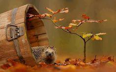 Hérisson saison automne