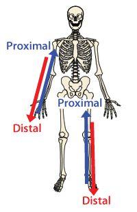 planes of movement Proximal/distal | Proximal vs Distal Skeleton