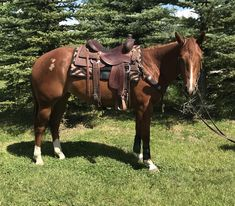 PINES FROSTED WIMPY, 2018 AQHA Chestnut Filly..