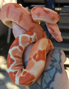 Looks like a sunglow motley boa constrictor. Pretty Snakes, Cool Snakes, Colorful Snakes, Beautiful Snakes, Les Reptiles, Cute Reptiles, Reptiles And Amphibians, Animals And Pets, Baby Animals