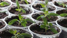 Succulents, Seeds, Garden, Syrup, Plant, Garten, Lawn And Garden, Succulent Plants, Gardens
