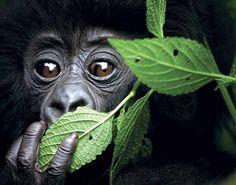 Baby gorilla peeking from behind leaves. (David Yarrow)