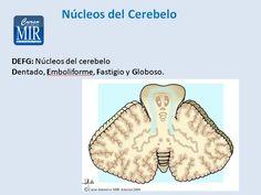 Núcleos del Cerebelo - #Neurología