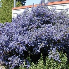 Ceanothus is a large genus of shrubs in the buckhorn family. The shrubs typically grow in dry woodlands, rocky clearings, or on hillsides. Planting Shrubs, Garden Plants, Planting Flowers, Burning Bush Shrub, California Lilac, California Drought, Pots, Garden Site, Pot Plante