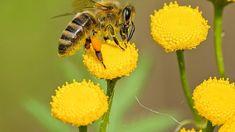 Δηλητήριο της μέλισσας και καρκίνος του μαστού. Honey Bee Sting, Honey Bees, Bee Friendly Plants, Bee Hive Plans, Worker Bee, Save The Bees, Lawn Care, Bee Keeping, Flower Power