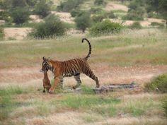 Tigress with her kill.. RANTHAMBORE