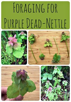 Purple dead nettle is a common plant that is often thought of as a weed. Did you know that it is edible and medicinal?