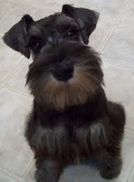 Image result for 1950s woman walking mini schnauzers
