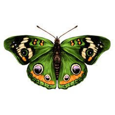 Butterfly Discover Green butterfly with open wings top view of symmetry sketch. Green butterfly with open wings top view of symmetry sketch the graph of vector color drawing butterfly with green wings. Green Butterfly, Vintage Butterfly, Butterfly Art, Butterfly Photos, Beautiful Bugs, Beautiful Butterflies, Art Papillon, Open Wings, Green Wing