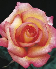JP: Sheila's Perfume (Peer Gynt) - Yellow Edged Deep Pink Floribunda Roses