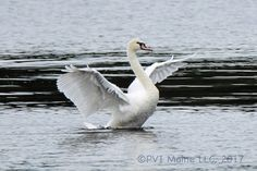 The three Mute Swans we observed back in early July are still there and put on a nice show.