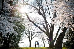 cherry blossom engagement session washington dc Awesome Blossoms!
