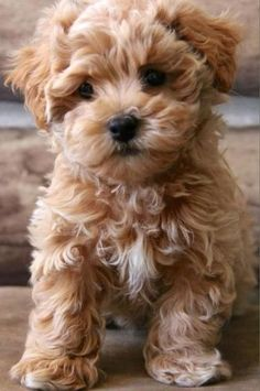 Facts and Photos About the Teddy Bear Dog Breed - Dogs - Chien Cute Baby Animals, Animals And Pets, Funny Animals, Funny Cats, Wild Animals, Bear Dog Breed, Bear Puppy, Teddy Bear Puppies, Teddy Bears