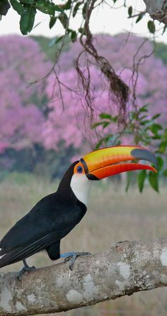 When people think of Brazil they often think of Rio's Carnivale or the Amazon. But for birdwatchers, Brazil also means the Pantanal, the world's largest contiguous wetland and full of birdlife, such as the iconic toucan. Photo: Craig Smith