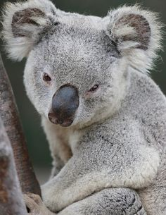 Despite common belief, #koalas are not bears. Sleepy marsupial by Angie Bell.