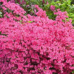 Red Rhododendron Shrubs for Sale | Fast Growing Trees