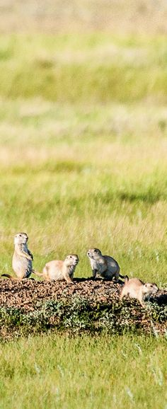Prairie Dogs in Grasslands National Park, Saskatchewan Prairie Dogs, American National Parks, This Is Us, Places To Visit, Canada, Live, Animals, Animales, Animaux