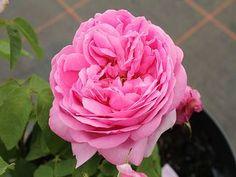 Mme. Boll Historische Rose Flowers, Plants, Garden Centre, Roses Garden, Plant, Royal Icing Flowers, Flower, Florals, Floral