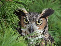 Great Horned Owl 5 by tennisturtle17.deviantart.com on @deviantART