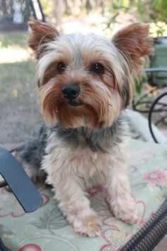 Rex is an adoptable Yorkshire Terrier Yorkie Dog in League City, TX Adoption Fee: $300Fostered in TexasAge: 6 yearsWeight: 7 lbs.6/6/15 - Rex is now all fix ... ...Read more about me on @petfinder.com #yorkshireterrier