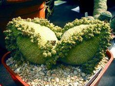 ♥ cacti ...succulents